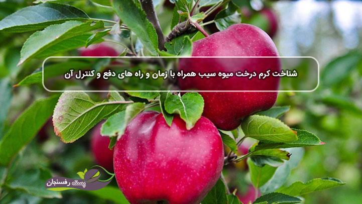 شناخت کرم درخت میوه سیب همراه با زمان و راه های دفع و کنترل آن