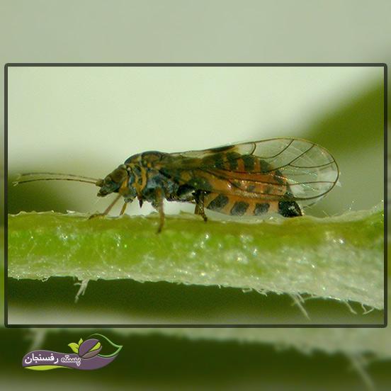 1.پسیل گلابی (Psylla Pyricola)