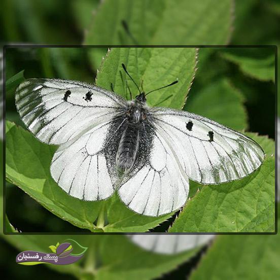5.سفیده رگ سیاه (Black – Veined White)