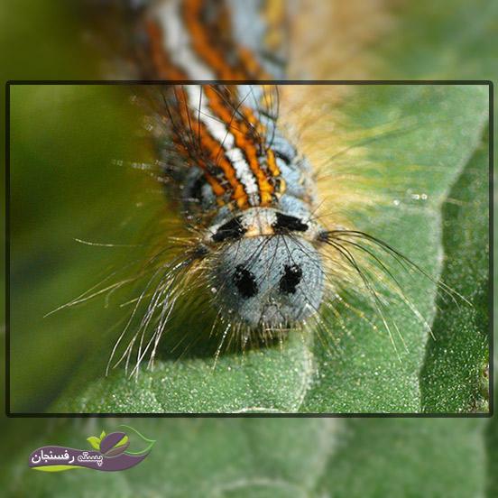 6.پروانه تخم انگشتری (Malacosoma neustria)