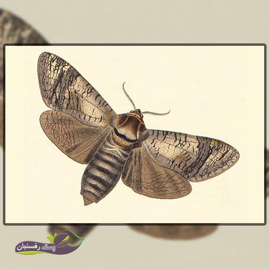 7.کرم جگری یا کرم نجار (Goat moth)