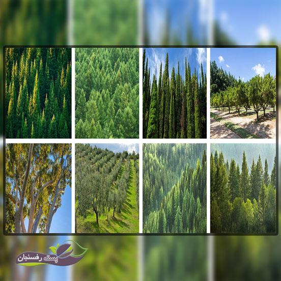 درختان همیشه سبز و مقاوم