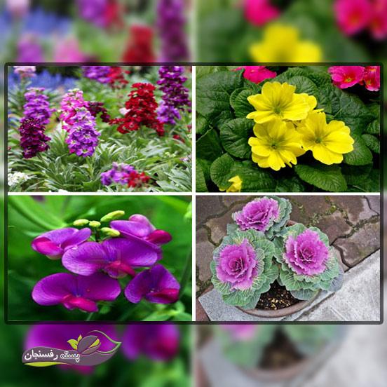 گل های یک ساله فصل زمستان،