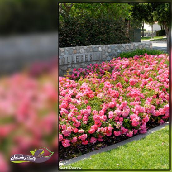 گل های رز فرشی