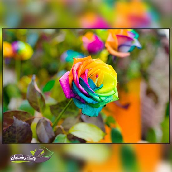 گل های رز هیبریدی یا دو رگه