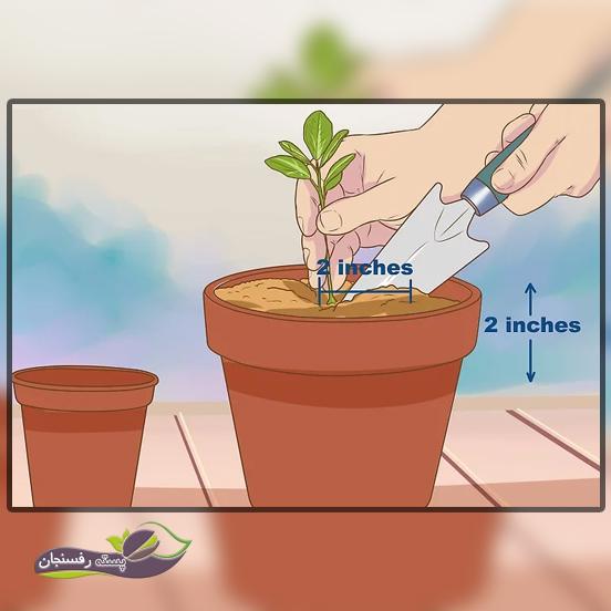 کاشت نهال پرتقال در گلدان بزرگتر