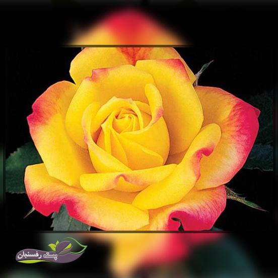 انتخاب و آماده سازی محل کاشت گل رز