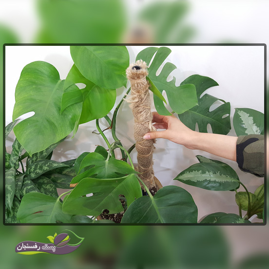 برگ انجیری گیاهی برای طراحی داخلی