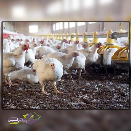 بهترین فصل استفاده از کود مرغی مایع