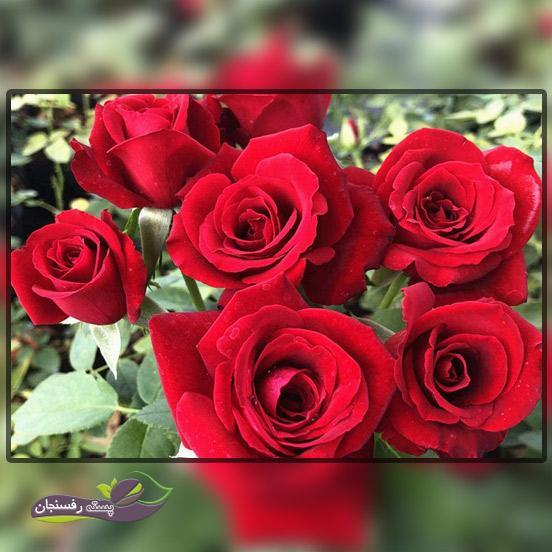 تغذیه و کوددهی گل های رز یا سرخ
