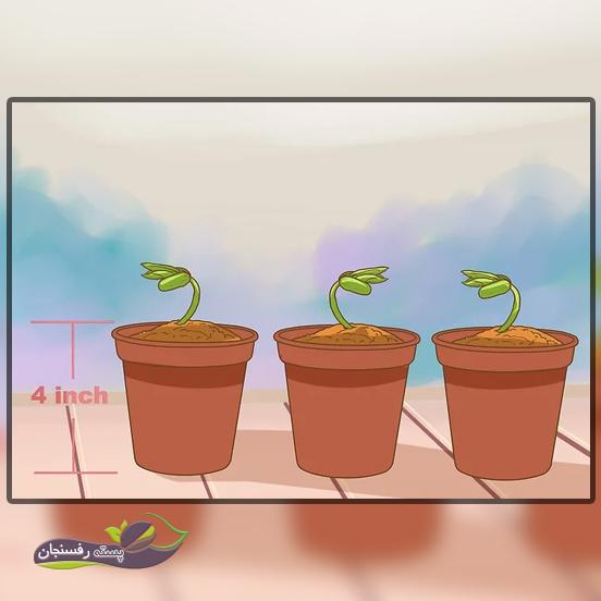 کاشت دانه های پرتقال در گلدان یا زمین