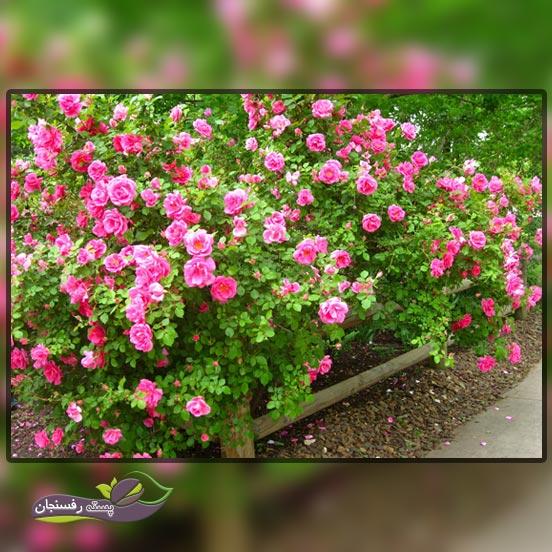 آشنایی با نحوه پرورش و کاشت گل رز یا سرخ