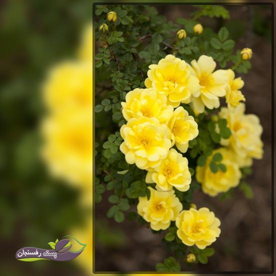 کاشت گل رز زرد طلایی