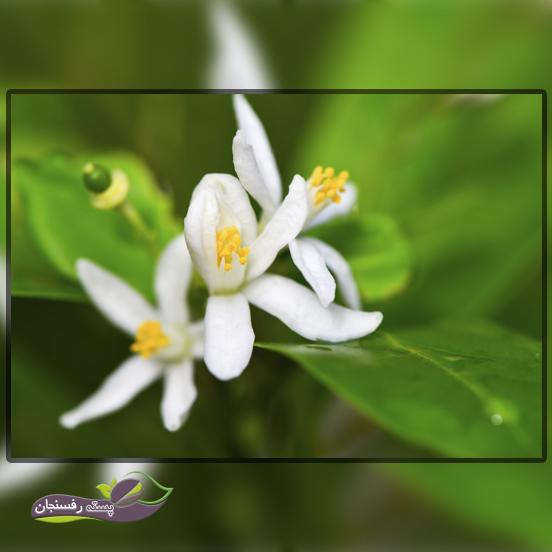 گل کامکوات