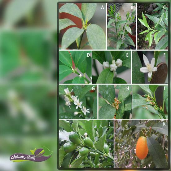 فصل میوه دهی کامکوات