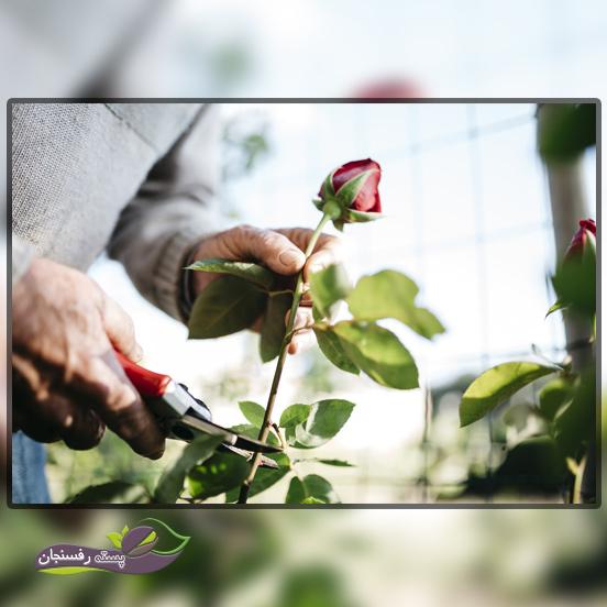شکل دهی و هرس کردن گل های رز یا سرخ
