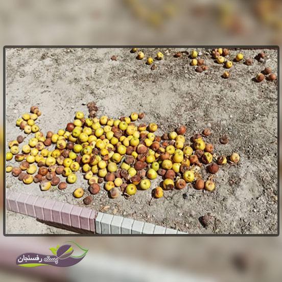 ریزش درختان میوه در چه فصولی از سال بیشتر رخم می دهد؟