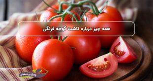 همه چیز درباره کاشت گوجه فرنگی