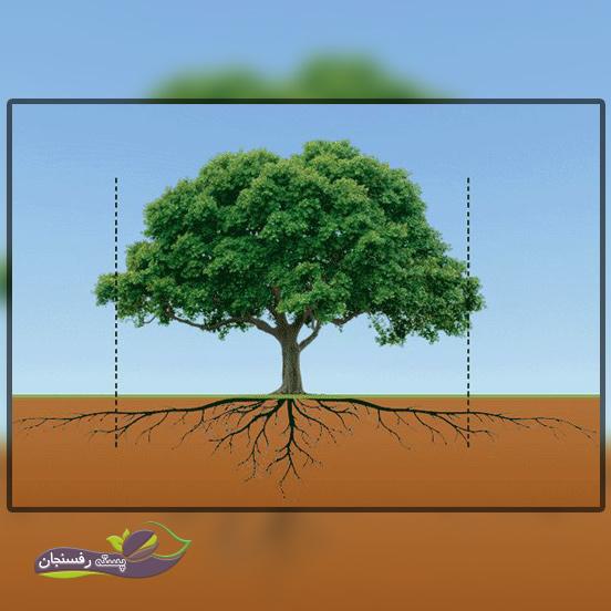 تغذیه درختان گیلاس با کود تا خط قطره درخت
