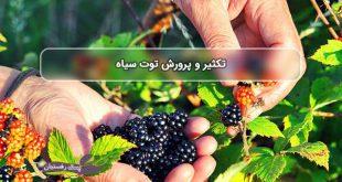 توت سیاه دارویی ضد سرطان