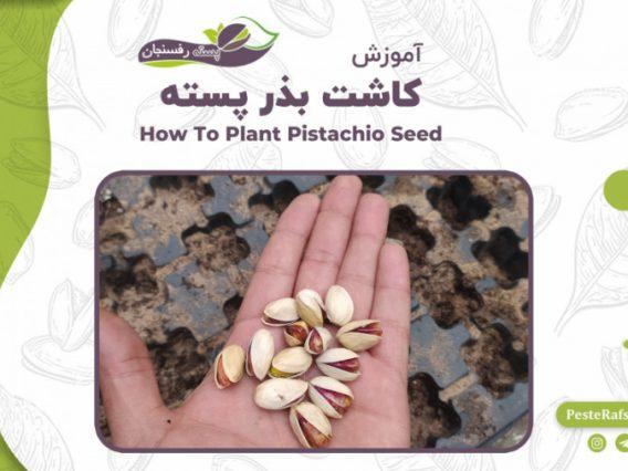 آموزش کاشت بذر پسته