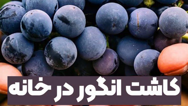 کاشت انگور در خانه با بذر تهیه شده از میوه آن