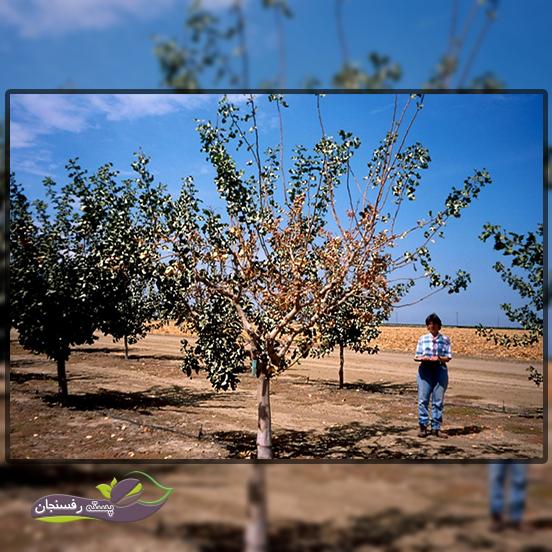 پژمردگی ورتیسیلومی در درخت پسته