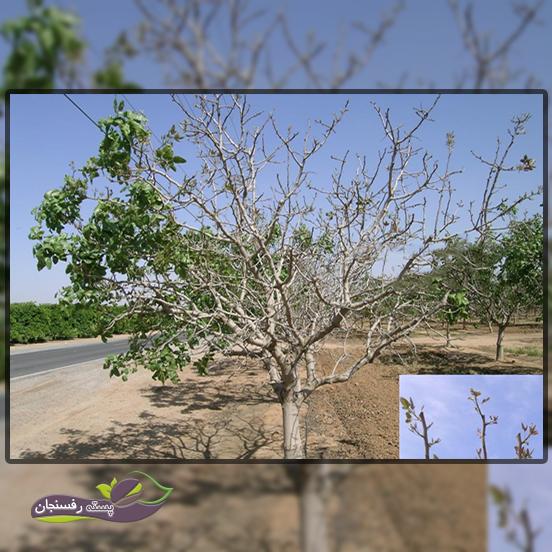 تحمل به سرما در درخت پسته
