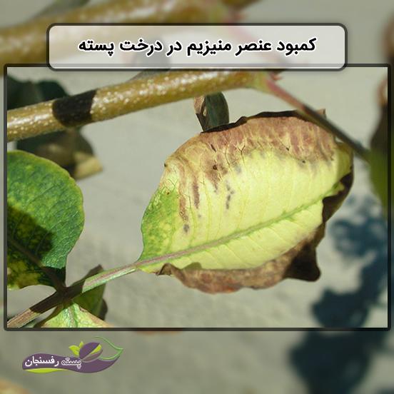 کمبود عنصر منیزیم در درخت پسته