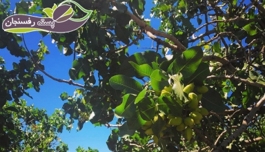 Botany, physiology and factors affecting the performance of an American pistachio trees.