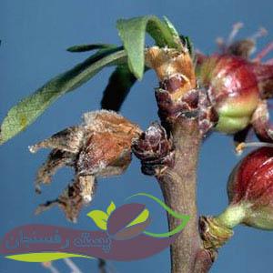سوختگی بوتریتیسی شاخه و شکوفه