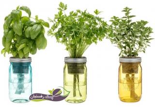 هورمون گیاهان
