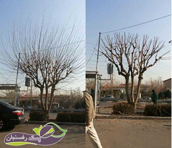 تاج درخت