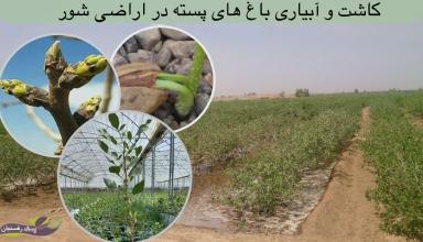 کاشت و آبیاری باغ های پسته در اراضی شور