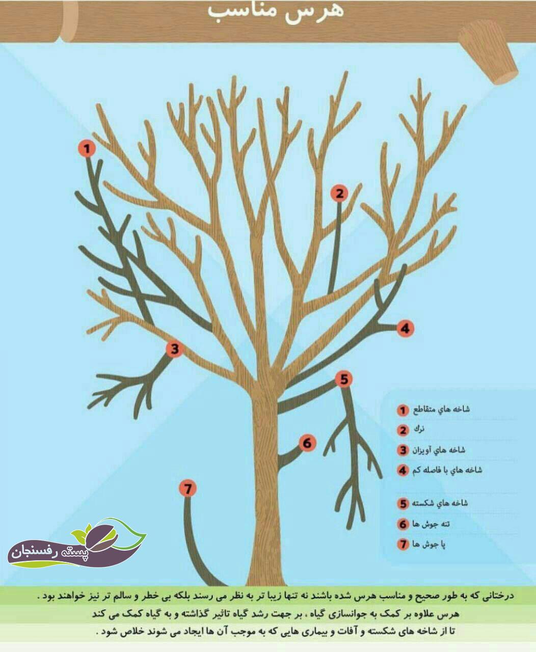 هرس و تربیت درختان میوه