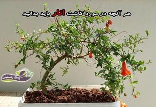 کاشت انار