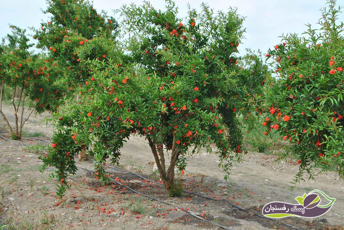 درخت انار