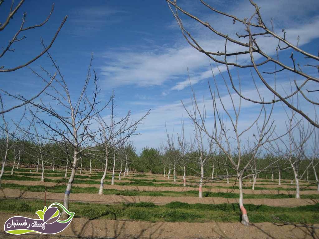 هرس درختان