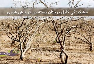 خشکیدگی کامل درختان پسته در اثر تنش شوری