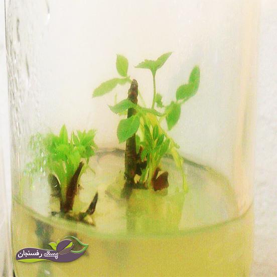 سه روش ممکن برای ریزازدیادی زنجبیل( تکثیر غیرجنسی گیاهان زنجبیل)
