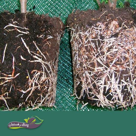 فواید استفاده از میکوریز(قارچ همزیست با ریشه گیاه) در کشت بافت چیست؟