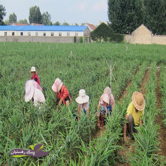 مقاوم سازی گیاهچه های زنجبیل برای انتقال به مزرعه