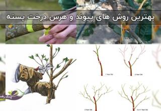بهترین روش های پیوند زنی و هرس درخت پسته