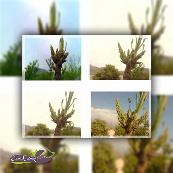 مراحل تلقیح و رشد گل آذین ماده در پسته