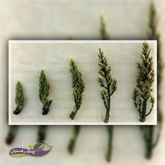 مراحل تلقیح و رشد گل آذین ماده پسته