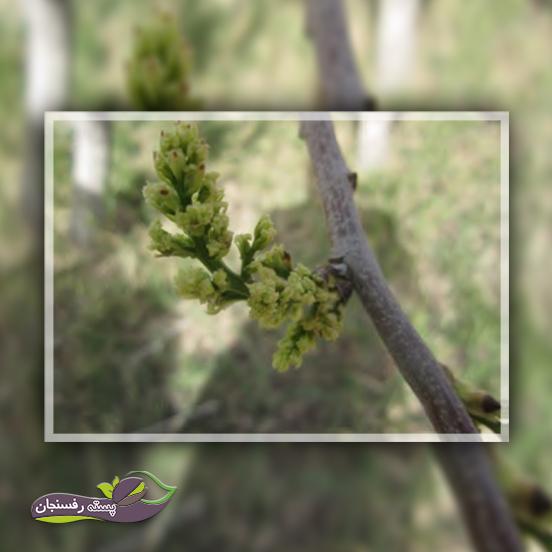 تشکیل گل آذین ماده بر روی شاخه یکساله