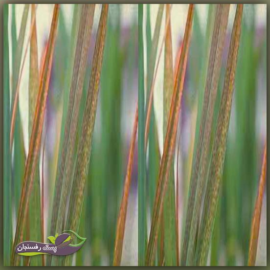 سمی شدن عنصر آهن در گیاه برنج