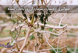 جلوگیری ازخسارت سرمازدگی در باغات پسته