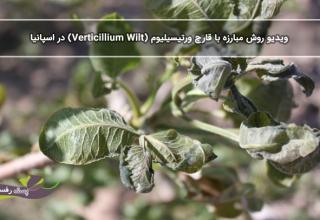 ویدیو روش مبارزه با قارچ ورتیسیلیوم (Verticillium Wilt) در اسپانیا