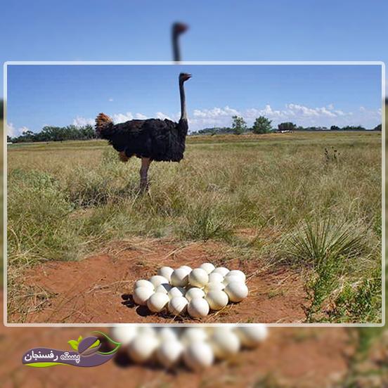 چگونه لانه مناسب برای تخم گذاری شترمرغ ایجاد کنیم؟